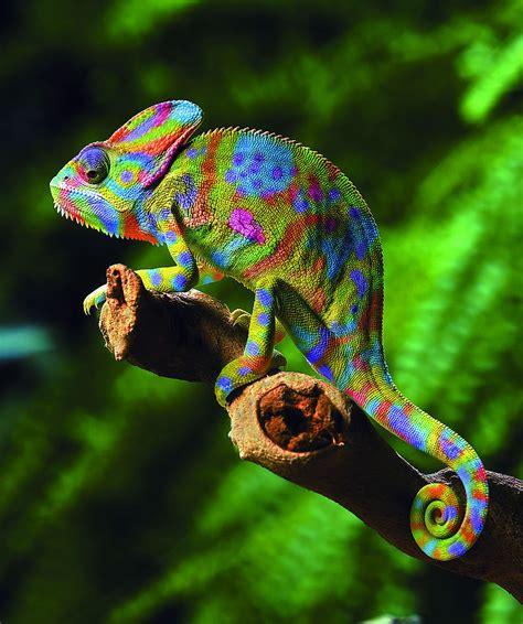 The Chameleon by Chameleon Random Photographs And Chameleon Web Services