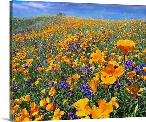 california desert flowers 62 best california wildflowers images on pinterest