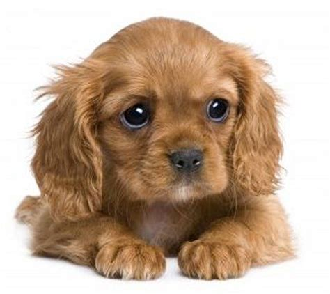 king puppy 1000 images about cavalier king charles spaniel on cavalier king charles