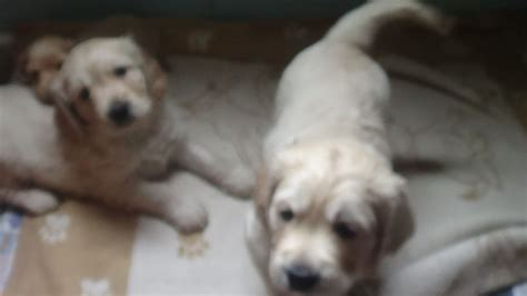 golden retriever x cocker spaniel puppies for sale cocker spaniel x retriever puppies kingsbridge pets4homes