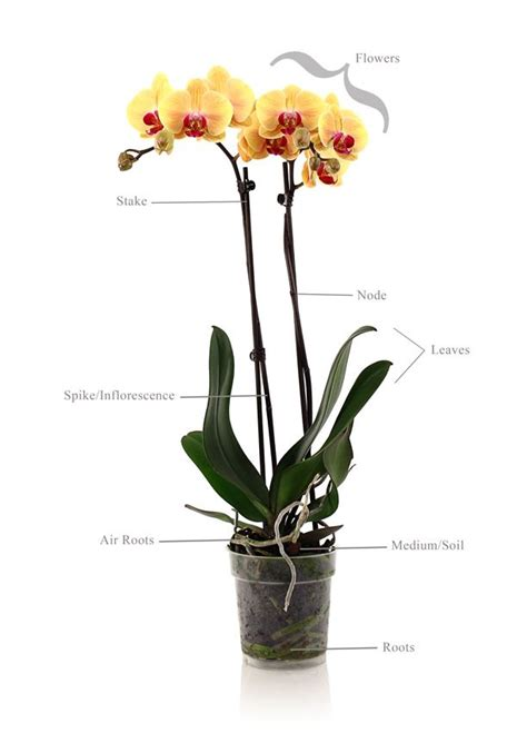 orchid plant anatomy orchid care pinterest orchid plants orchid and plants