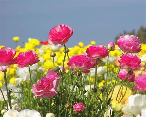 ranuncolo fiore ranuncolo bulbi