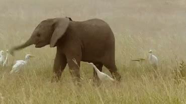 swinging gif elephant baby gif elephant baby trunk gifs say more