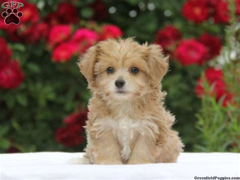 yorkie chon puppies 17 best images about for the of dogs on chihuahuas i want and morkie