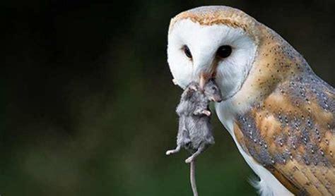 barn owl cara melatih burung hantu harga burung hantu tyto alba 2017 jual burung hantu
