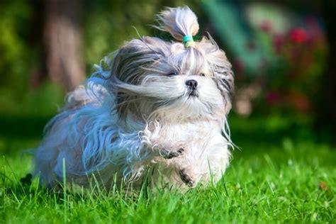 shih tzu running shih tzu shih tzu pet insurance breed info