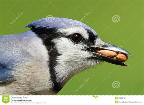 blue jay eating peanuts royalty free stock images image