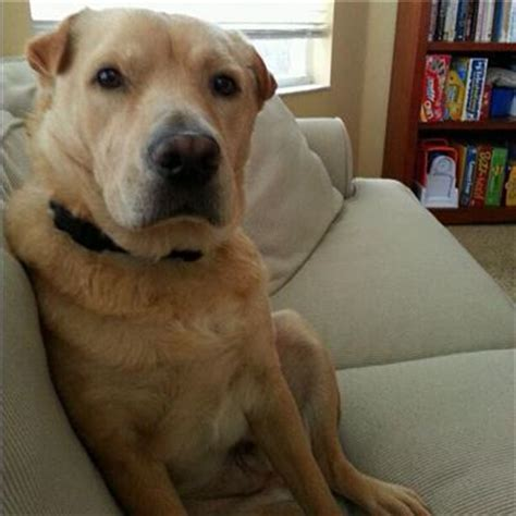 shar pei and golden retriever mix 26 labrador cross breeds you to see to believe
