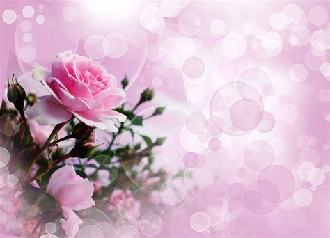 wallpaper hd pink rose pink rose wallpaper