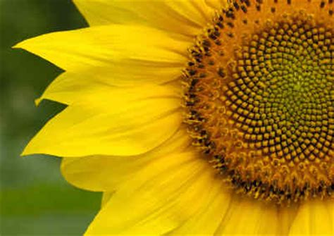 nature the golden ratio and fibonacci numbers