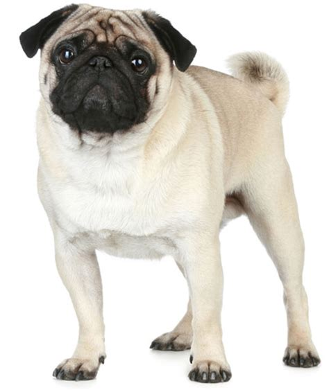 pugs info facts about pugs for breeds picture