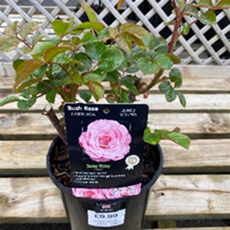 rose sexy rexy  roses polhill garden centre