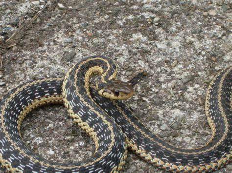 Garter Snake How Many Babies Baby Garter Snake 2 By Sonickingscrewdriver On Deviantart