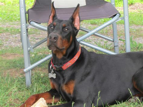 doberman puppies for sale dallas tx doberman pinscher puppies for sale near magnolia akc marketplace