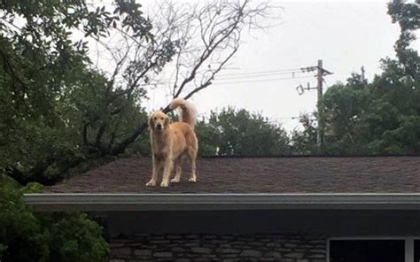 roof jumping dog huckleberry startles passersby huckleberry the roof dog viral photos of dog who jumps on