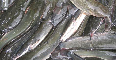 Bibit Lele Konsumsi tedon usaha budidaya ikan lele