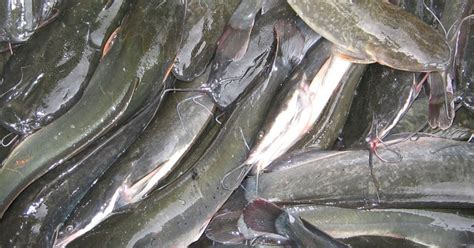 Bibit Lele Organik usaha budidaya ikan lele cahaya mentari