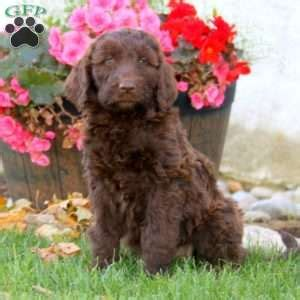 standard poodle puppies for sale in pa standard poodle mix puppies for sale