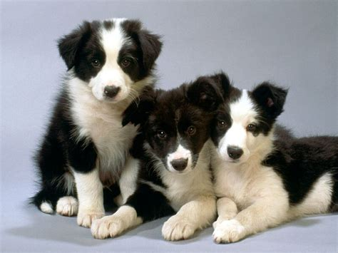 border collie puppies california border collie puppies black and white