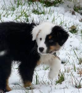 le de berger berger australien un chien aux couleurs splendides et
