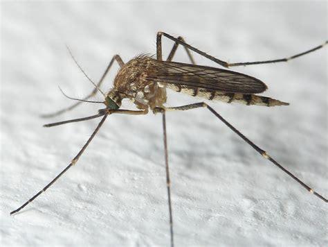 dengue mosquito pictures dengue mosquito pictures