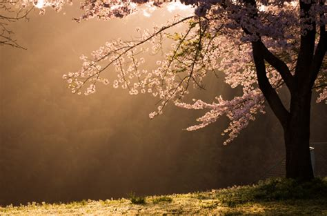 Blossom Shieneng shining cherry blossoms by 3scity id 1788631 写真共有サイト photohito