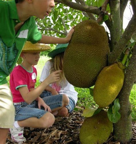 Tanaman Nangka Mini tanaman nangka mini jackfruit tanaman buah