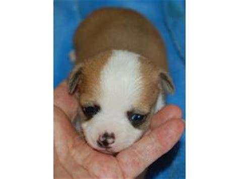 pomeranian puppies for sale in idaho falls chihuahua chihuahua pop teacup haired chihuahua breeds picture
