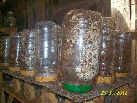 Ulat Hongkong Untuk Pakan Ikan Hias budidaya kroto cara ternak kroto semut rangrang di