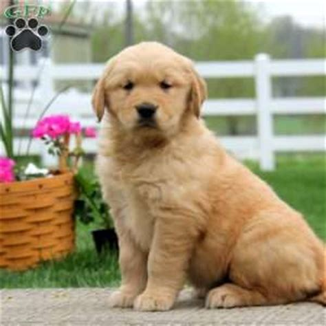 golden retriever puppies for sale denver golden retriever puppies for sale