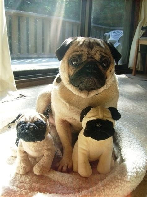 pug puppy toys 12 reasons why you should never own pugs