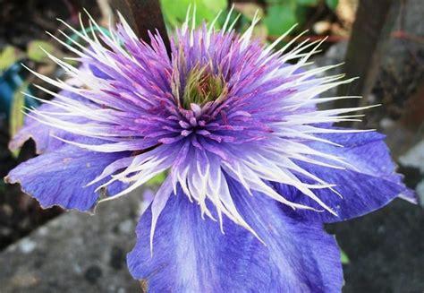 clematis wann pflanzen clematis richtig einpflanzen und pflegen