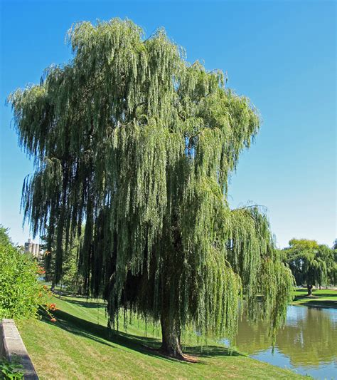 of willow pics of willow trees