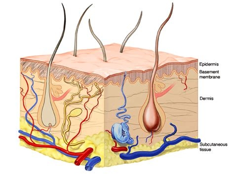 diagram of skin structure and functions of the skin