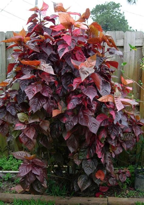 Tanaman Akalifa Acalypha Wilkesiana 502 best images about foliage on japanese painted fern shrubs and elephant ears