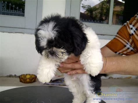 shiba inu shih tzu mix dunia anjing jual anjing shiba inu shih tzu jantan betina stamboom