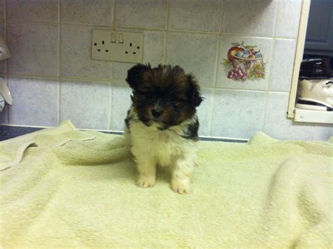 papillon shih tzu papillon x shih tzu puppies walsall west midlands pets4homes