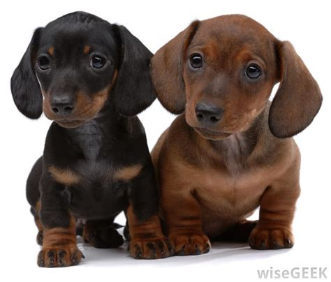 wiener puppies what is a daschund with pictures