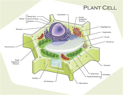 plant cell diagram plant and animal cell diagram plant and animal cells