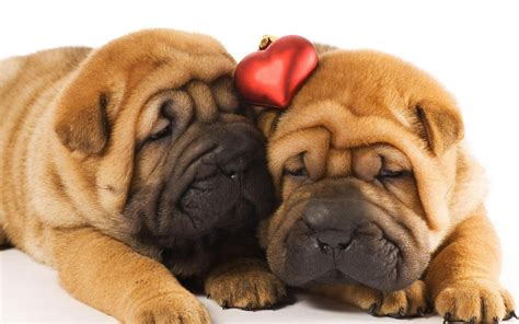 pictures of shar pei puppies two shar pei puppies in wallpapers and images wallpapers pictures photos