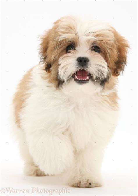 difference between maltese and shih tzu shih tzu quotes quotesgram