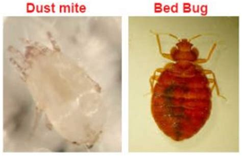 dust mites vs bed bugs 28 dust mites facts everything you need to know