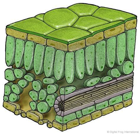 Plant Leaf Cross Section by Digital Frog International Rainforest Image Archives