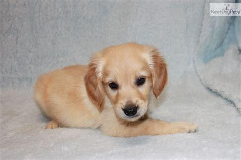 buy miniature golden retriever golden retriever puppy for sale near joplin missouri fcea2c53 1a81