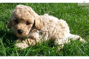 goldendoodle puppy cost mini goldendoodle goldendoodle puppy for sale near