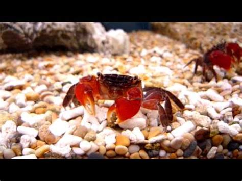 red claw crab red clawed crab care freshwater crab freshwater red thai crab sweet knowle aquatics youtube