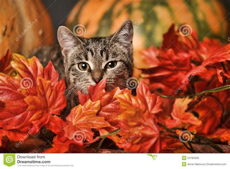 wallpaper chat automne autumn cat stock image image of dramatic falling beauty