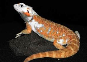 20 types bearded dragons colors species pictures bearded dragon