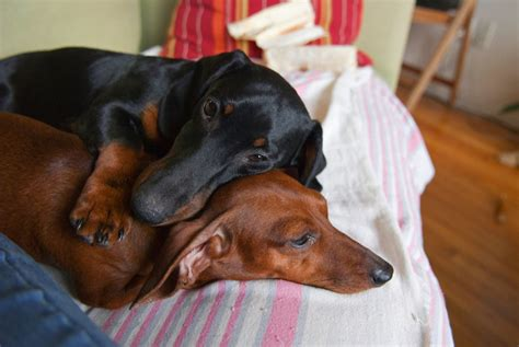 dachshund puppies for adoption in ga dachshunds for adoption