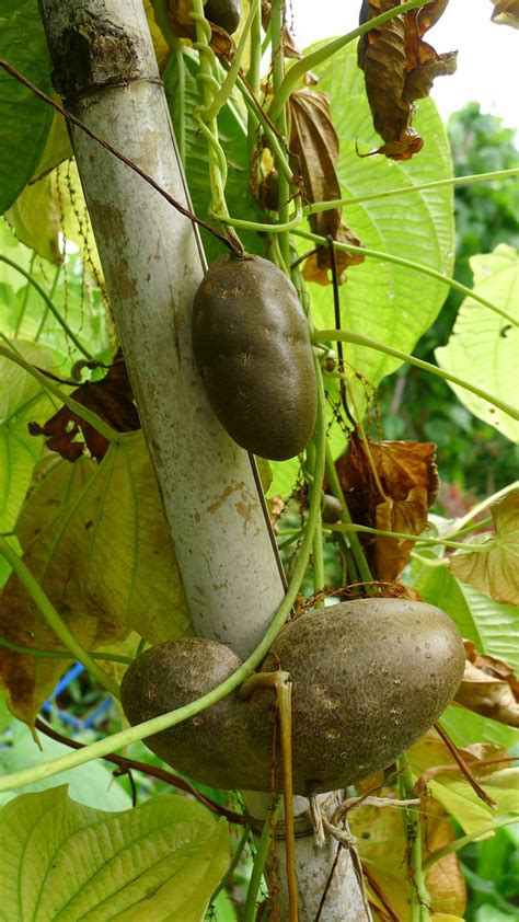 fresh amazing home vegetable garden australia 10902 2183 best images about amazing fruits vegetables around